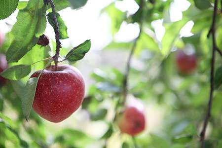 Apple trees where and how to plant doityourself com